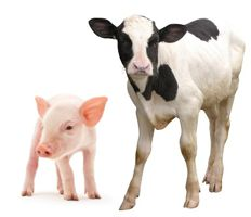 calf and piglet